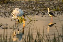 Sri Lanka (gillescrespin) Tags: bundala oiseau spatule srilanka échasse