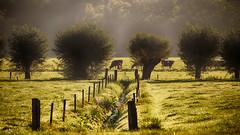 Morning walk (Dannis van der Heiden) Tags: kows kow grass morning dew sun leusden netherlands ditch poles sunrise slta58 sigma18300mm watervapor vapor latesummer rustic field mist green leusdenzuid contrast details