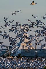 Bird Herd (jah32) Tags: birds bird seabirds gulls gull seagulls seagull portstanley poc lakeerie lake lakes thegreatlakes greatlakes