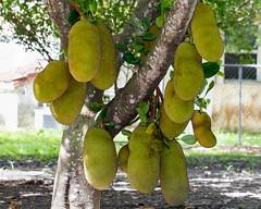 Jackfruit Mania (NMoon15) Tags: jackfruit tropicalfruit foodsecurity