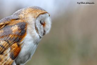Afternoon doze! Barn Owl