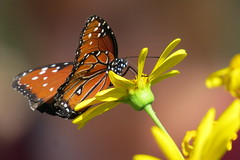 Danaus gilippus (5of7) Tags: flower yellow butterfly insect spots spotted fav nymphalidae danausgilippus gamewinner 3fav queenbutterfly challengewinner favescontestwinner friendlychallenges fotocompetition fotocompetitionbronze ispychallenge 7wins thestorybookchallengegroup storybookwinner pregamewinner pregamesweepwinner gamesweepwinner pregamechallenges ispywinner thechallengegroupgamesecondchancechallenge