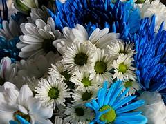 Passover Bouquet (Renee Rendler-Kaplan) Tags: flowers holiday home canon colorful gbrearview blossoms livingroom bouquet gapersblock wbez passover blueandwhite chicagoist jewishholiday reneerendlerkaplan canonpowershotsx40hs thecolorsoftheisraeliflag endingtonightatsundown