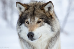 Fluffy wolf (nemi1968) Tags: winter wild portrait snow closeup canon nose eyes wolf ngc npc wolves langedrag ef100400mmf4556lisusm