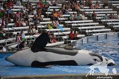 (Megakillerwhales) Tags: dolphin malia dolphins whale whales orca seaworld kayla shamu killerwhale orcas tilly killerwhales katina orcawhales nalani seaworldorlando bluehorizons shamushow orcawhale oneocean trua tillikum nikond3100 makaiko nalanidreamer megakillerwhales