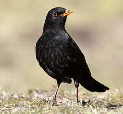 Confident Blackbird [eXPLoReD] (Ger Bosma) Tags: winter portrait sun male bird closeup pose bill beak kos turdusmerula blackbird confident songbird merlo merel amsel eurasianblackbird turdidae melro veryclose commonblackbird solsort koltrast merlenoir mirlocomn   birdofsong img80368filtered