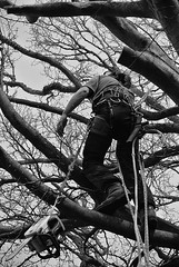 Tree Climber (Livesurfcams) Tags: chainsaw woodcutter arborist stihl treesurgeon stilh copperbeachtree nikonv1