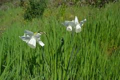 Narcisos blancos (esta_ahi) Tags: barcelona espaa white flores spain flora flor narciso narcissus anoia narcisos amaryllidaceae lallacuna narcs  asilvestradas
