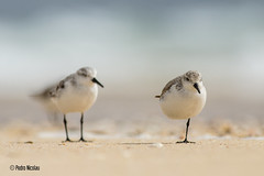 Pilritos | Sanderlings (Pedro Nicolau) Tags: portugal birds canon calidris aves birdwatching watcher sanderling pilrito wader charadriiformes pilritos pilritodaspraias limcola pilritodareia