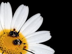¡Qué festín! (_Zahira_) Tags: two white black flower macro blanco lafotodelasemana negro flor olympus bugs dos margarita bichos ngr petalos e500 uro espacionegativo 50mmmacro zd50mm ltytr1