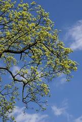 Stadtpark Mainz, Ahorn (Acer) (HEN-Magonza) Tags: stadtpark mainz frühling springtime ahorn acer rheinlandpfalz rhinelandpalatinate deutschland germany