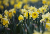 Yellow Dafs   112/365 2013 (mfhiatt) Tags: flowers yellow spring bed day112 ortoneffect day112365 3652013 mfhiatt 2013inphotos 365the2013edition ©2013michaelfhiatt 22apr13