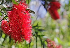 Red (eleni m (slowly)) Tags: red plant flower green grancanaria yellow canon groen geel rood bloem