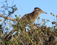Lonesome roadrunner (jimsc) Tags: morning arizona bird animal fauna spring desert tucson wildlife predator sonorandesert roadrunner crooner pimacounty canonsx130