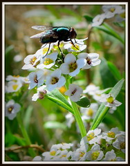 Candytuft (Iberis) (eXtreme Images) Tags: white flower yellow closeup oregon insect portlandor housefly muscadomestica candytuft iberis
