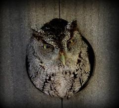Screech OWL (darlenej529) Tags: trees plants birds florida turtles swamp wetlands cypress eagles