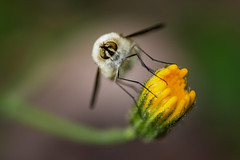 Peaceful insect (jeff_006) Tags: flower macro eye nature closeup canon insect 50mm flying bokeh olympus fd f35 em5