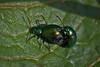 Dock Beetles - 52WFND 17/52 (me'nthedogs) Tags: somerset naturereserve levels westhay 1752 dockbeetle 52weeksfornotdogs