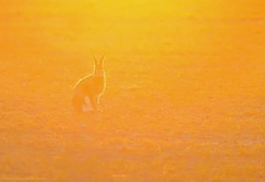 Hare-O-Rama (nikkorglass) Tags: sunset orange yellow backlight fur hare april 70200 f28 gul motljus 2013 nikkorglass d700