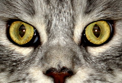 Cats Eyes (Tony Worrall Foto) Tags: pet cute beautiful cat silver fur nose nice furry feline chat pretty pussy stare purr meow katze puss gatto katz domesticated catseyes cutekitty felissilvestriscatus feliscatus beautifulcat silvercat faceofacat silverpussy smallpussy 2013tonyworrall greypusy