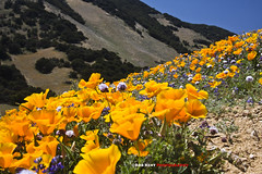 Poppies on a Slope (Explored) (Bob Kent) Tags: california poppy wildflower tehachapi