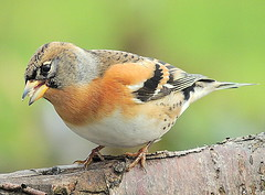 birds fff  082 brambling (ivorrichardk) Tags: birdsfffbuzz