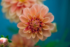 At the end you're left with a flower only (Pensive glance) Tags: dahlia plant flower nature fleur plante ngc npc photosandcalendar flowersarebeautiful excellentsflowers natureselegantshots mimamorflowers flickrflorescloseupmacros panoramafotogrfico