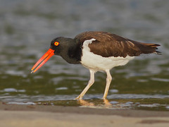 Huitrier d'Amrique / American Oystercatcher (mitch099) Tags: costa bird nature beauty playa rica beaut american oystercatcher tortuga oiseau osa amrique huitrier micheleamyot mitch099