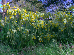 A glorious patch of cowslips (Maggie @ Abingdon) Tags: flowers spring cowslips radleylakes earthtrust