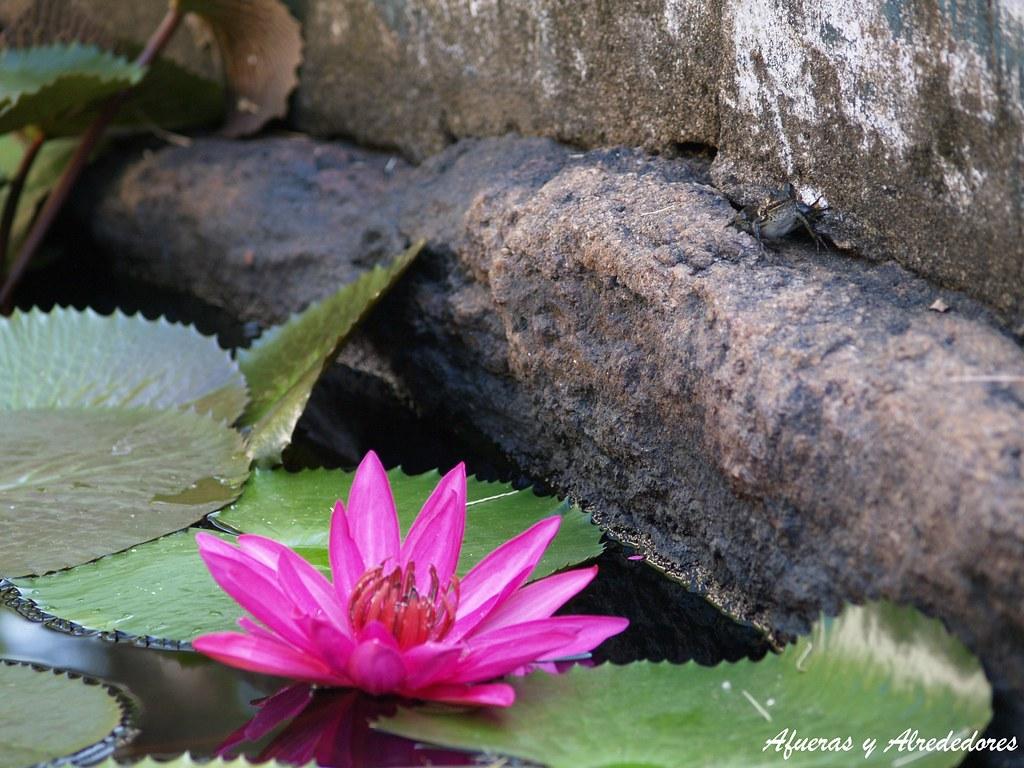 The worlds best photos of aukana flickr hive mind el prncipe rana y la flor de loto prince frog and the lotus flower izmirmasajfo Image collections