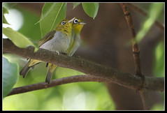 Everett's White-eye (Pair) (Gerald Yuvallos) Tags: bird nature birds canon philippines 300mm 7d cebu whiteeye 2x everetts 28is istoryanet fafagraphy