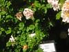 IMG_0552 (ceztom) Tags: city trip roses plant cemetery rose by garden square with native cemetary hamilton visit betty historic rivers april sacramento 20 davis speech 19 rosegarden cezanne perennials opengardens kathe cez 1000broadway april20 2013 930–200