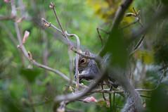 Squirrel, hidden in a tree