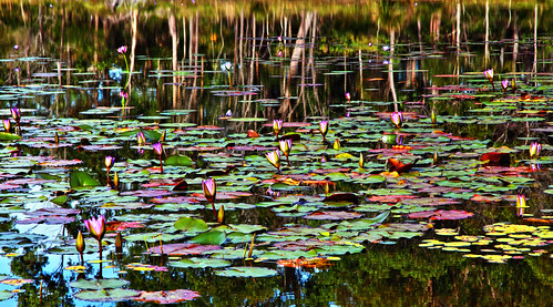 """Reflections on a Lily Pond!"""