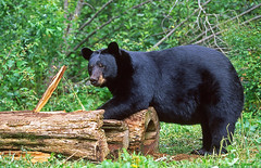 Large Male Black Bear Ripping Open Some Logs. (AlaskaFreezeFrame) Tags: bear animals alaska canon logs claws blackbear