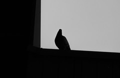 Silhouette volatile (lausend) Tags: blackandwhite bird animals photography photo foto photographie image noiretblanc pigeon picture paloma panasonic animales pajaro fotografia bild animaux taube oiseau animali piccione imagen tier vogel uccello immagine enblancoynegro inbiancoenero gandrille tz10 schwarzundweib lausend