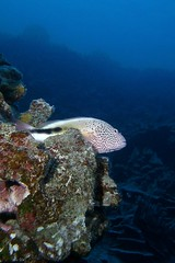 on edge (BarryFackler) Tags: ocean life sea fish nature water ecology animal coral fauna hawaii polynesia bay marine underwater pacific dive scuba diving sealife pacificocean tropical marinebiology diver bigisland aquatic reef creature biology undersea ecosystem coralreef marinelife vertebrate zoology seacreature marineecology organism hawkfish honaunau konacoast hawaiicounty freckledhawkfish southkona hawaiiisland 2013 honaunaubay paracirrhitesforsteri blacksidehawkfish marineecosystem westhawaii konadiving bigislanddiving hawaiidiving sealifecamera hilupilikoa barryfackler barronfackler pforsteri