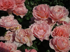 Pink Roses, Washington Park, Portland Oregon (Blinking Charlie) Tags: pink flowers roses usa oregon portland colorful 2012 washingtonpark internationalrosetestgarden canonpowershots100 blinkingcharlie
