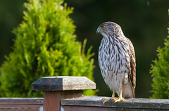 Cooper's Hawk (Peter Bangayan) Tags: nature birds 1dmk2 backyardbirds wilidlife ef300mmf4lisusm