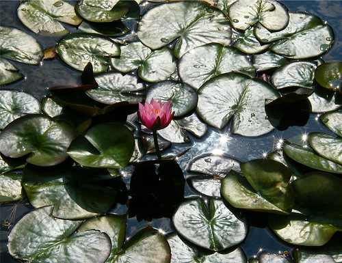 Sunlit Pink Waterlily