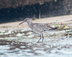 Willet - 3 (krisinct) Tags: bird beach nikon tokina tc 300 tamron f28 willet d300 14x