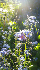 Forget-Me-Not (Giles Watson's poetry and prose) Tags: poetry poem forgetmenot wildflower lyric