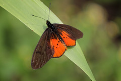 76. Butterfly (Acraea egina egina), Virunga National Park, Democratic Republic Of Congo (Jay Ramji's Travels) Tags: africa acraeaeginaegina insect lepidoptera butterfly heliconiinae nymphalidae virunganationalpark democraticrepublicofcongo brushfootedbutterfly