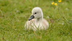 Mute Swan Cygnet. (Andy bradders) Tags: cygnet swan bird waterbird chick young water lake pond