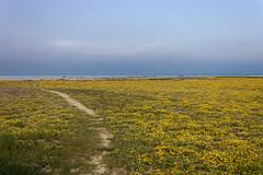 Spiaggia di Petacciato (SDB79) Tags: costa primavera mediterraneo mare natura fiori sentiero paesaggio molise macchia litorale fioritura petacciato