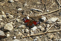 Sunning (Martha-Ann48) Tags: peacock butterfly wings pattern red blue white pretty stones twigs straw
