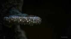 Pilze - Baumpilze 5 (Pana53) Tags: photographedbypana53 pana53 pilze mushrooms baumpilze wald naturfoto naturschutzgebiet naturportrait flora nikon nikond810 outdoor