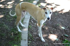 toby is one today (Rex Montalban Photography) Tags: rexmontalbanphotography dog whippet toby