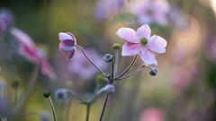 jardin japonais (sviet73) Tags: fleur flower macro nature plante anmone du japon bokeh