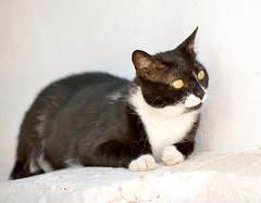 xGata Gitana (9) (adopcionesfelinasvalencia) Tags: gata gitana